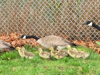 Very cute until you have to dodge the goose poop all over the island