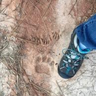 Bear, Racoon, Volunteer
