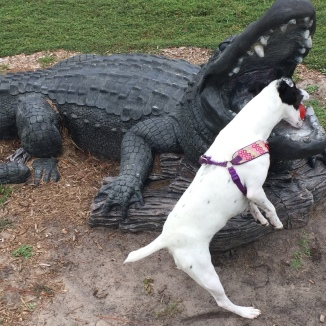 Alligator outside Okefenokee Adventures